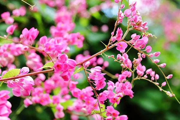 镇江庭院珊瑚藤如何养护才能爆盆?